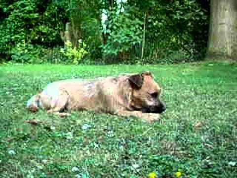 Toby Border Terrier Jack Russell Cross 2009 Youtube