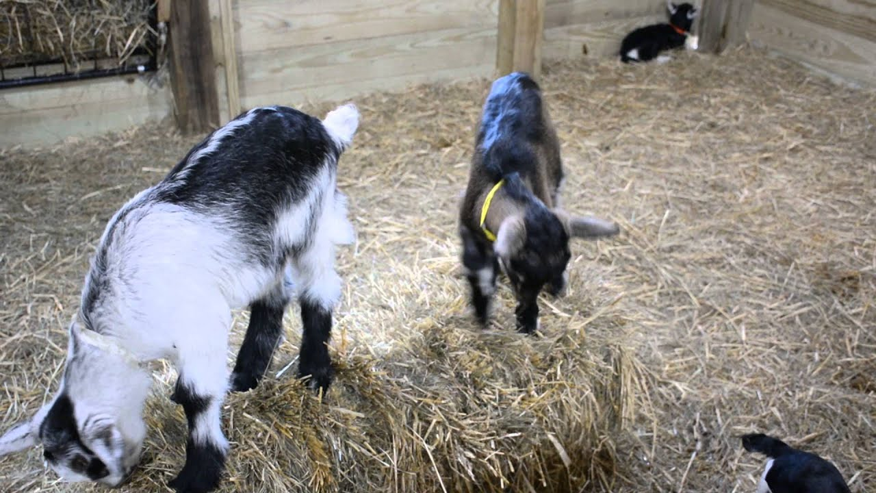 Get off my slide!!- baby boer goats playing. - YouTube |Baby Goats Playing Youtube