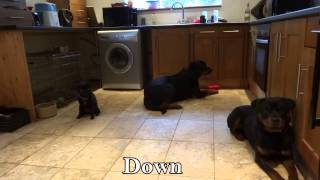 Rottweiler Training - Fetch, Drop, Emergency Stop, Stay With Distractions - Adolescent Dogs Uk