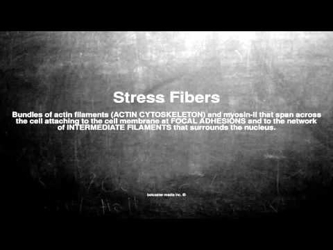 Medical vocabulary: What does Stress Fibers mean