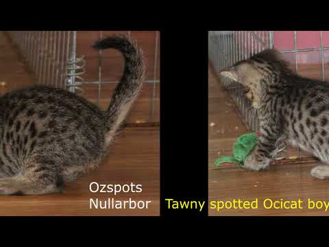 Ocicat Kittens Available from Oz Catz