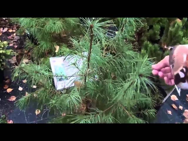 Хвойные растения для сада  Сосна, тсуга. Сайт
