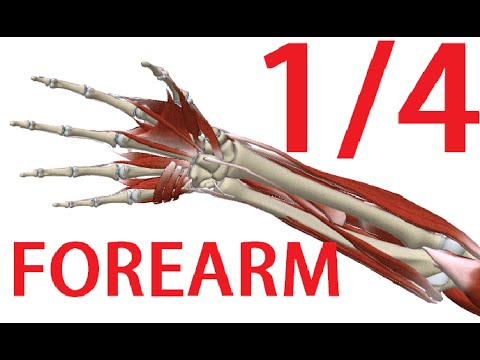 Forearm Anatomy 1/3 - Muscles with nerves and arteries - YouTube
