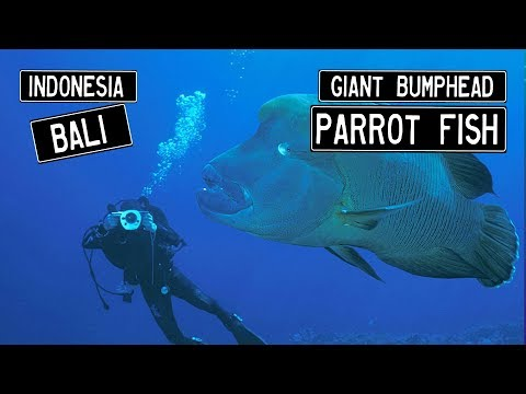 GIANT BUMPHEAD PARROTFISH! Bali Tulamben - Indonesia Budget Adventure Travel Part 3
