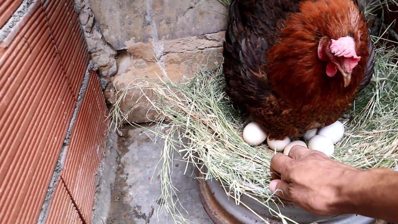 حصاد الدجاجة من بيض الكتاكيت   ولادة اصغر الصيصان  (الحياة تيوب)