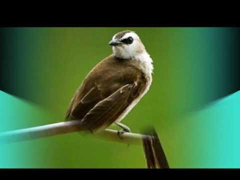 Suara Burung Trucukan Gacor Terbaru 2018