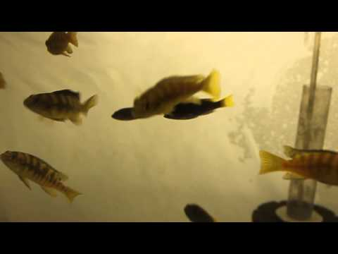 Acei & Ornatus Cichlids @ Tropiquatics 7/2/13