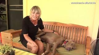 Alice Häuser Besucht Den Wohl Einzigen Weimaraner Auswandern Hund Cooper In Thailand