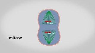 MOOC côté cours : Les principales étapes du cycle cellulaire
