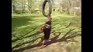 Rottweiler Shows Jaw Strength (ropeswing / Spring Pole)