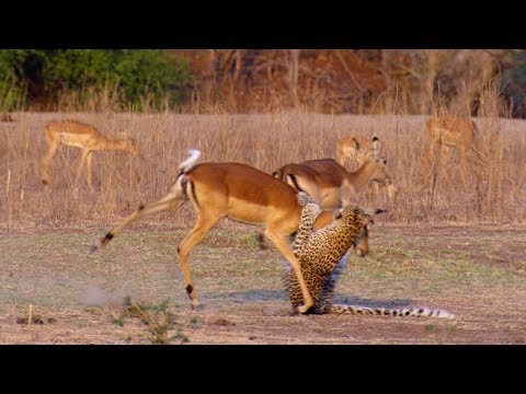 Thumbnail: Impala Miraculously Escapes Jaws Of Leopard - The Hunt - BBC Earth