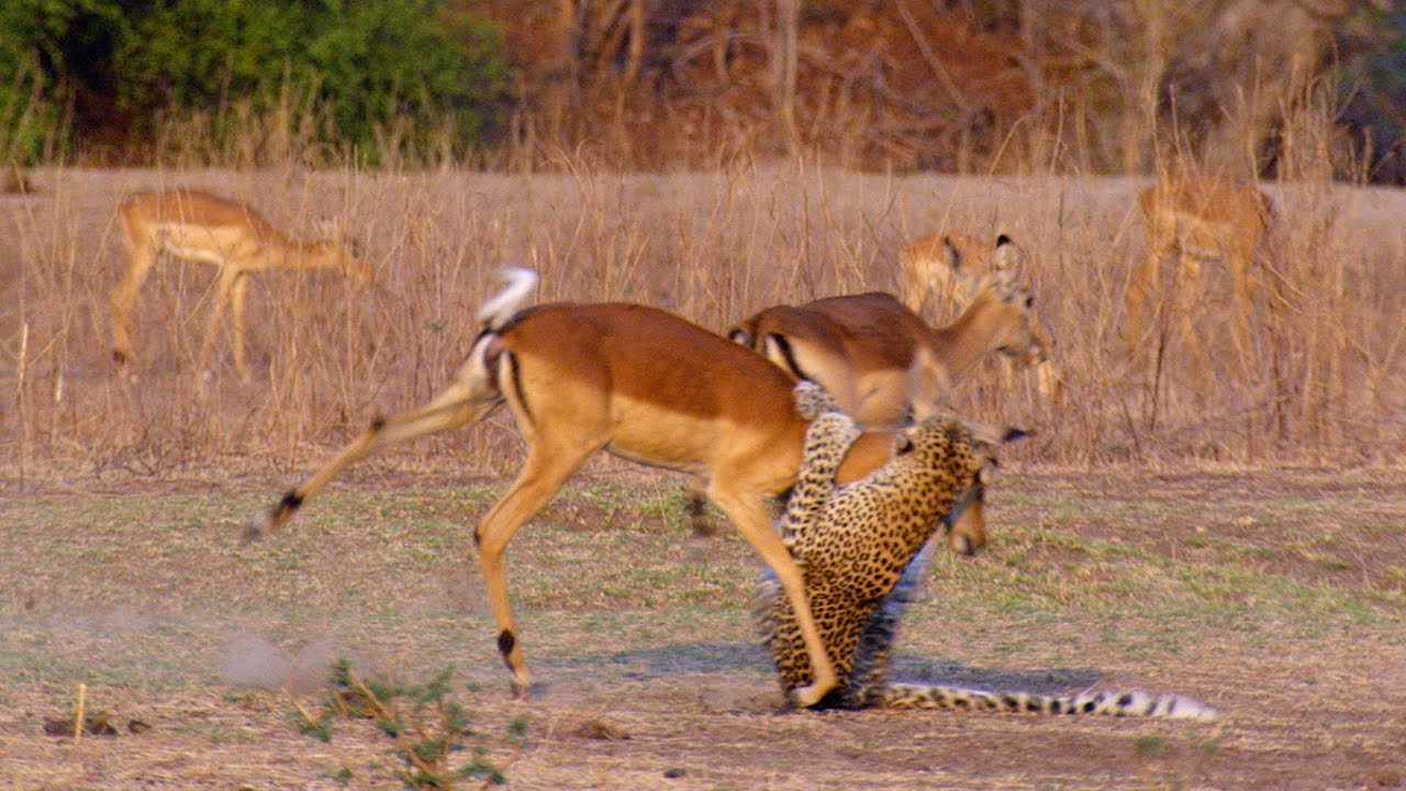 Impala Miraculously Escapes Jaws Of Leopard - The Hunt - BBC Earth