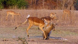 Impala Miraculously Escapes Jaws Of Leopard | The Hunt | BBC Earth thumbnail