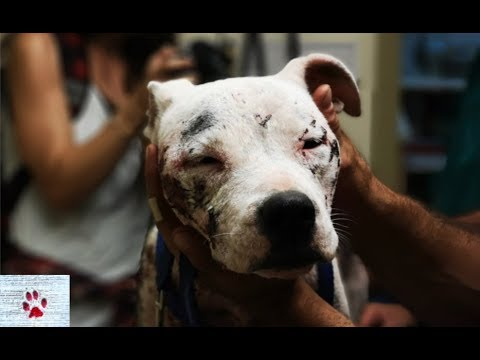 Transformation of a sick Pit Bull found abandoned on the streets