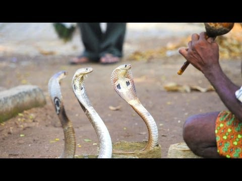 Can Charmed Snakes Hear the Music?