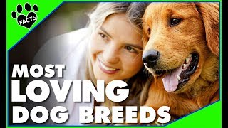 TopTenz: Top 10 Most Affectionate Loving Dog Breeds  Dogs 101 - Animal Facts thumbnail