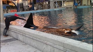 Sakari Wants Rubdowns (Killer Whales: Behind the Scenes at SeaWorld San Antonio)