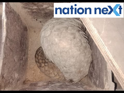 World's Most Trafficked Mammal 'Pangolin' Found In Nagpur