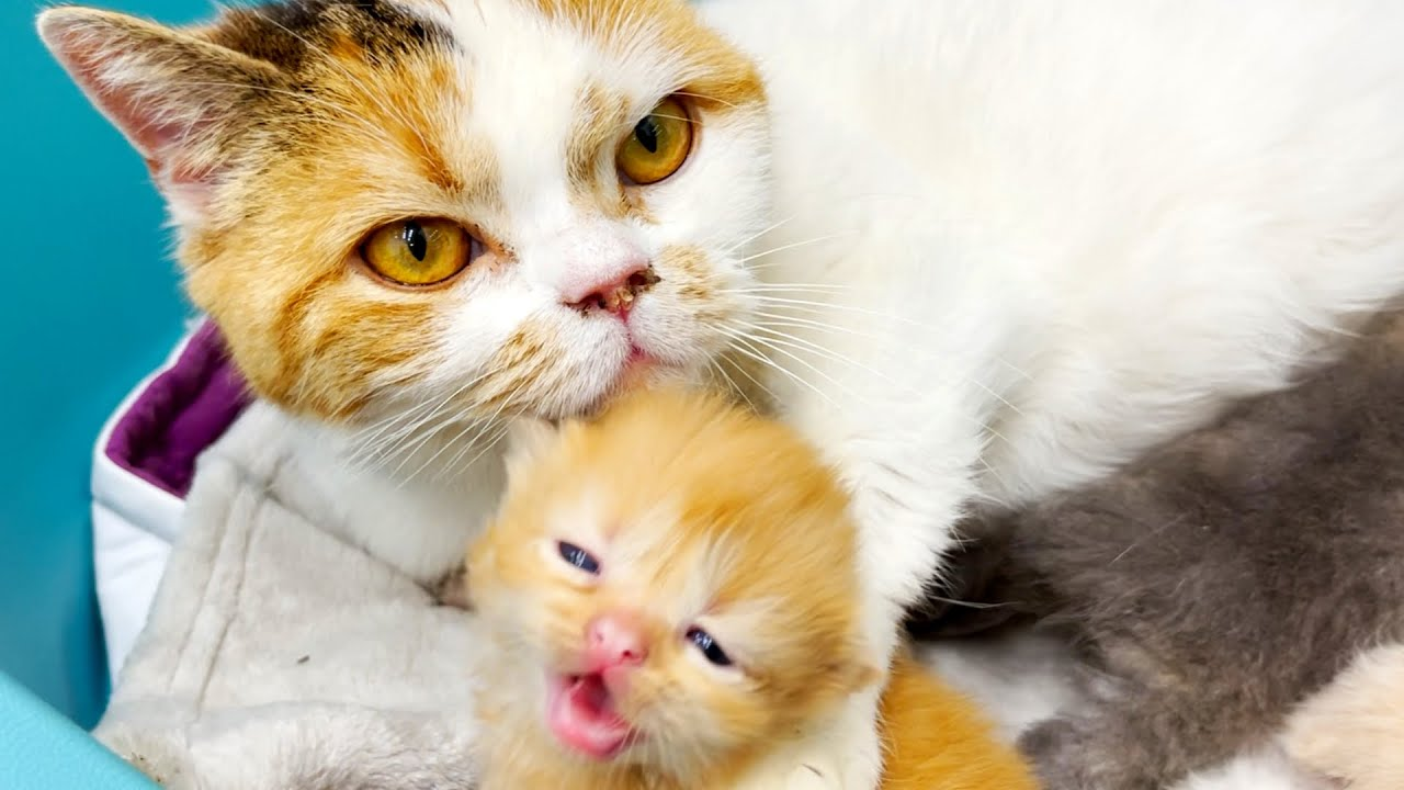 Foster mom cat takes care of loudly meowing kittens and they kiss her