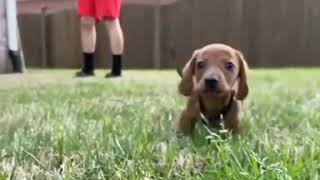 Dachshund Pup - Funny Video