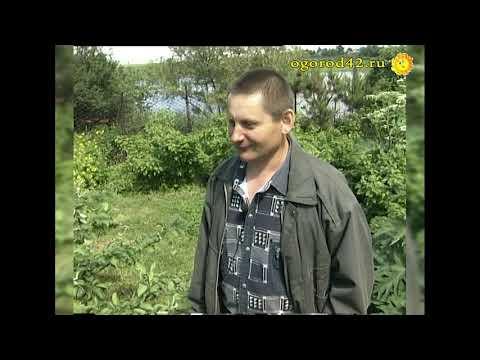 Уникальный опыт Евгения Пантелеева из сибирской глубинки! Крупноплодные яблони стланцы в Кузбассе.