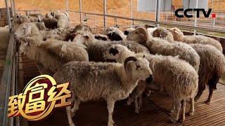 《致富经》 20200504 85后青年拼出羊财富| CCTV农业