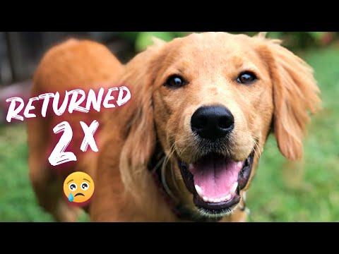 Golden retriever puppy keeps getting returned to the dog rescue 😥| The Dodo ( Jalapeno the dog )