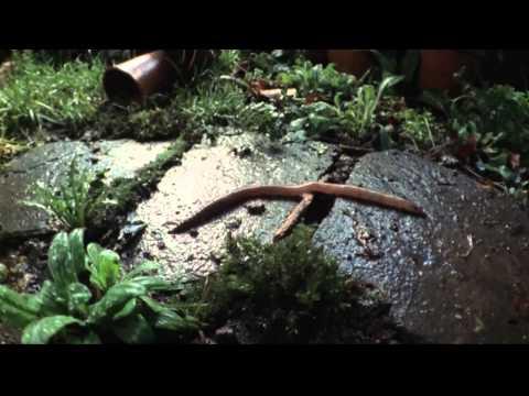 Shape of Life: Annelids - Lumbricus - Earthworm