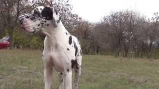 Extra Large Dog Muzzle For Great Dane