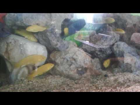 KARIŞIK CİKLET AKVARYUMU (cichlid aquarium)