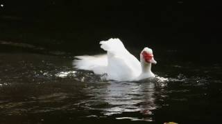 Excited Muscovy duck. Flip, flop, n' fly!
