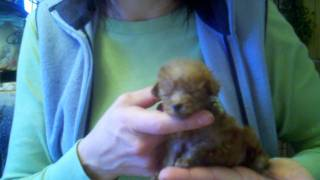 Tiniest Toy Poodle ~ Teacup Poodle ~ Only 3 Inches & 7 Ounces At 6 Weeks Old