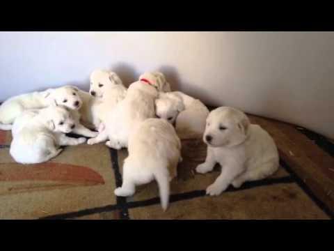 Colorado Mountain Dog Puppies Youtube