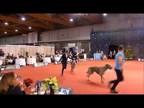 Brussels dog show 17.12.2017 Best in Show Ring Group 10 scottish Deerhound