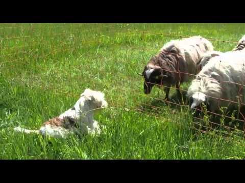 Phoebe Fox & pecore