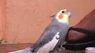 Calopsita - Bate o Pé - Cockatiel