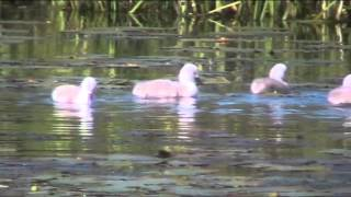 This years cygnets May 2014