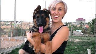 Хочешь такого? Продаются щенки длинношерстной немецкой овчарки. For sale! German Shepherd puppies.