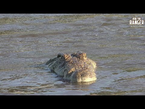 Incredible Feeding Behaviour Of The Nile Crocodile (Presented By Righteous Reptiles)