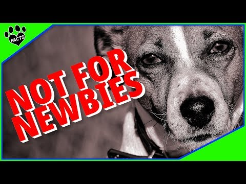 Difficult Dog Breeds - Small Dogs Not for Newbies