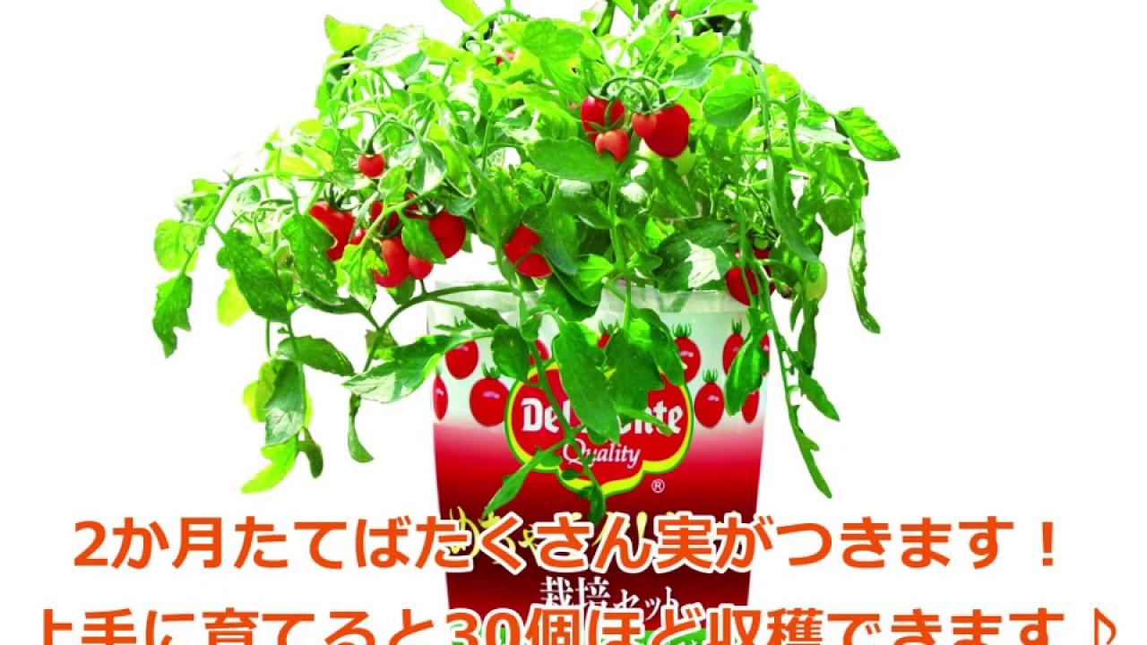 初心者でも簡単♪~めちゃラク!トマト栽培セットの育て方~【デルモンテの野菜苗】