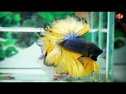 BETTA FISH 🐟11