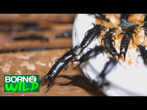 Born to Be Wild: Black Earwig, the soldier of farmers