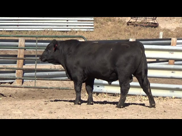 Connealy Angus Lot 49