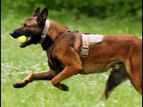 Military Dog Breeds Belgian