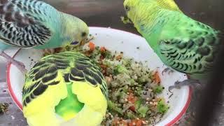 Male Budgies/Parakeets Eating Veggies(Волнистых попугаев)