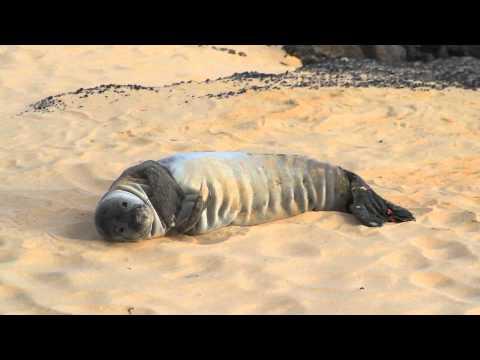 Hawaiian Monk Seals - Cute Kea