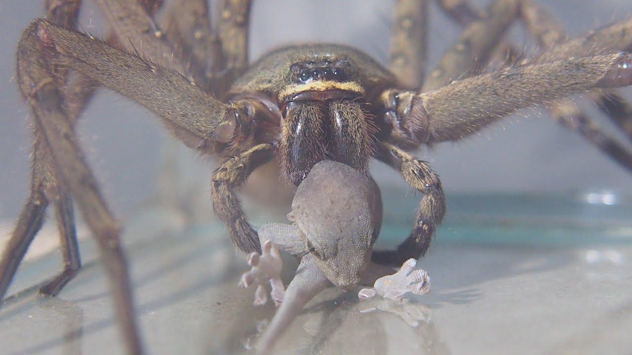 最大 アシダカグモ