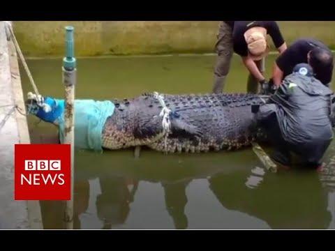 Huge pet crocodile kills keeper – BBC News
