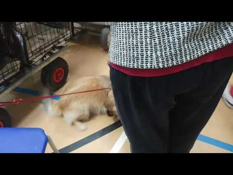 Finlay the Tibetan Spaniel and the puppies
